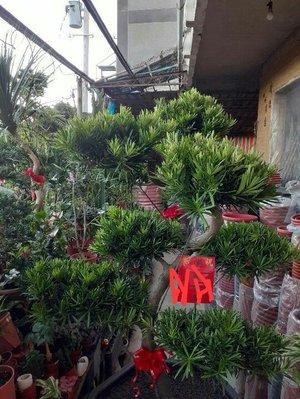 ☆臺南 羅漢松 落地盆景盆栽 庭園 造景 花園設定 層型盆栽