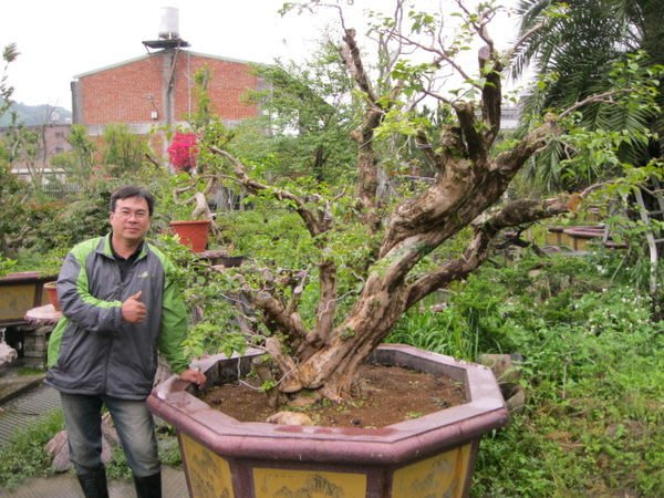 (青山園藝)九重葛  老樹 頭徑約50~60cm 己塑型   黃楓紫檀青楓真柏油杉黑松雪松