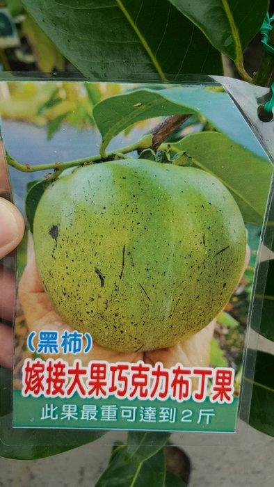 ╭*田尾玫瑰園*╯新品種樹種-(巧克力布丁果)嫁接苗.1米高.1000元/株