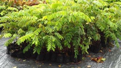 哇沙米園藝¥花旗木(桃紅陣雨樹)(10棵=$400)高20-30公分,一箱可入40棵。