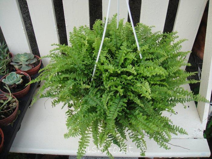 WISH FOREST【觀葉植物。波士頓腎蕨6吋吊盆】~~有效淨化空氣的室內植物~好種