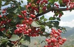 農產 山花椒種子  種子 (蔬果類種子)每包約10粒