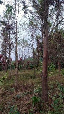 哇沙米園藝#北美落羽松米徑10-12公分,植地款(報價不含挖&運),最漂亮的售價了。