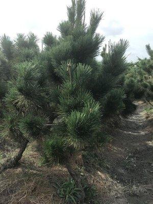 黑松 價格便宜 庭園盆栽樹 (另有售真柏、羅漢松其他果樹)