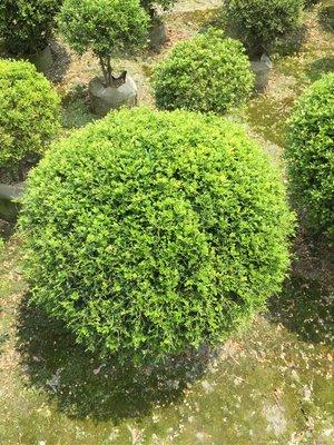 【林阿伯】細葉球型七里香(球徑60cm)