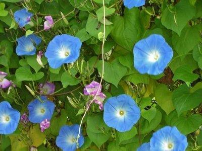 觀賞植物系列--- 藍色巨型牽牛花 ---種子