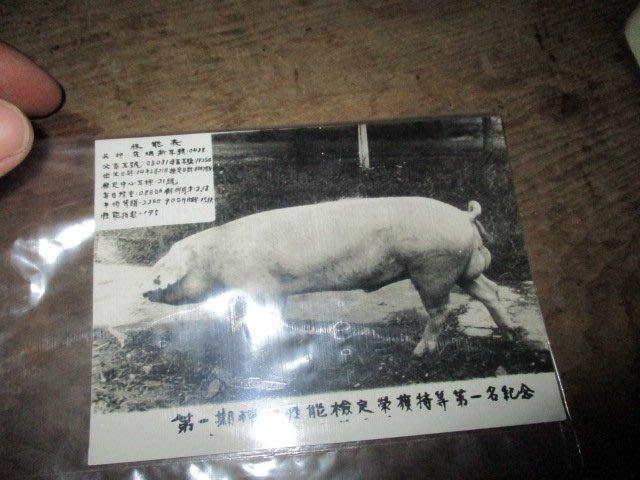 50..60年代..老種豬..第一名..老照片..趣味..希少品像好