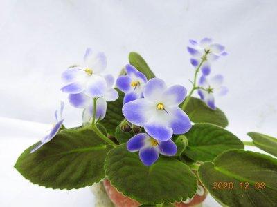 堤緣花語陶-淨化室內空氣植物-非洲紫羅蘭 Tiyuans Prince 王子[台灣育種]
