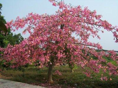 ╭*田尾玫瑰園*╯優美庭園用樹-(美人樹)高2米(裸根).數百種樹木特價中