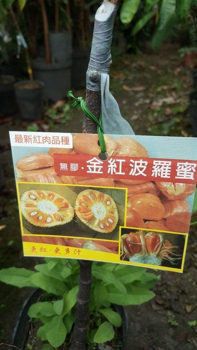 ╭*田尾玫瑰園*╯優良水果苗--(金紅波蘿蜜)高50cm1000元