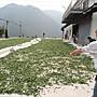 【炒茶天師】買1斤送1斤{特選} 台灣阿里山石棹清香手採烏龍茶~SGS 甜水,回甘強$1600/斤~