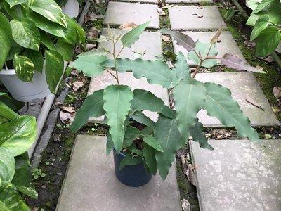 香草.喬木~檸檬胺(檸檬尤加利)-5吋/高15-25公分-精油.驅蚊-花精靈植物的家