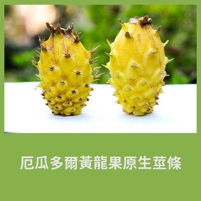 【飛訊庭園】厄瓜多爾黃龍果原生莖條5支 / 每支25cm以上 (麒麟果)