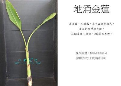 心栽花坊-地湧金蓮(地涌金蓮)(限量)售價350特價300