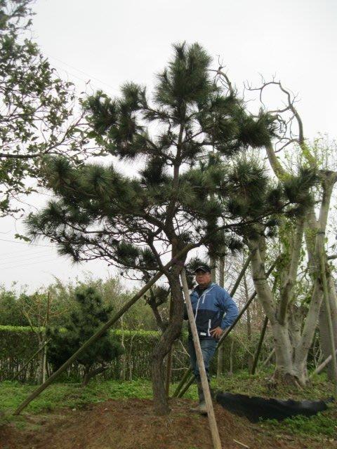 (青山園藝)大黑松 米俓約20cm.高度5米. 真柏油杉九芎櫻花羅漢松流蘇