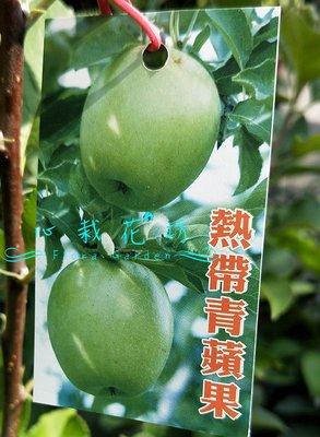 心栽花坊-熱帶青蘋果/蘋果/7吋/嫁接苗/蘋果品種/售價700特價600