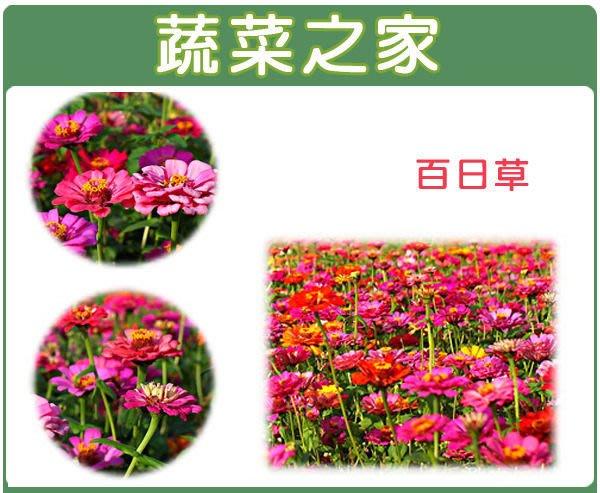 【蔬菜之家】H02.百日草種子200顆(顏色綜合,美化綠化環境作物.花卉種子)