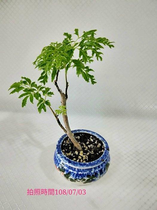 易園園藝- 羽葉福祿桐樹F53(福貴樹/風水樹)室內盆栽小品/盆景高約16公分