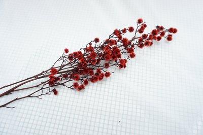 《Roof Garden Workshop》【乾燥花材】不凋虎眼花(紅)/特殊色/拍照/佈置/婚禮/花圈/花束/一支入