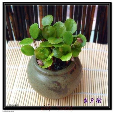 WISH FOREST【觀葉植物。象牙木】~~可愛小圓葉~~耐陰性佳~辦公室盆栽小品~