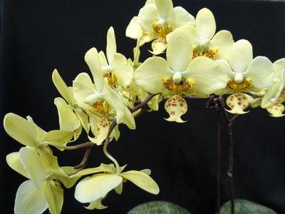 {親友蘭園} 蘭花拍賣之原生種蝴蝶蘭- P.stuartiana var nobilis x sib