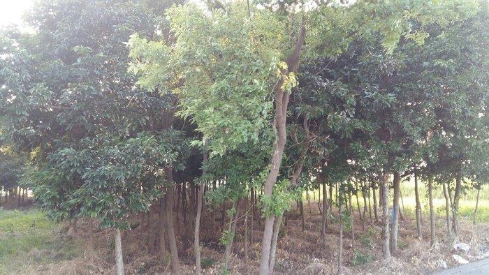 ╭ *田尾玫瑰園*╯庭園用樹-(土肉桂)米徑8cm2400元(不可食用).觀賞用