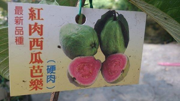 水果苗 ** 紅肉西瓜芭樂 ** 4.5吋盆/約50cm 果實香氣濃郁【花花世界玫瑰園】OvO
