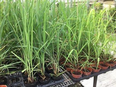 香草.多年草本~檸檬香茅~3吋/高15-30公分~提煉精油 可防蚊-花精靈植物的家