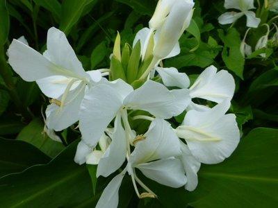 [瑞穗生活館].自家菜園種..白色野薑花..莖塊..每個10元..*5個