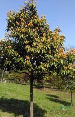 佛光樹/舟山新木姜子/4吋/綠化植物/綠籬植物/4吋4入/30公分
