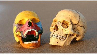 JAMES ROOM  4DMASTER頭骨教學模型醫用教具原色彩色夜光頭骨