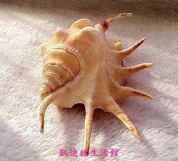 【凱迪豬生活館】天然貝殼海螺超大七角螺 海螺家居擺件魚缸水族箱造景裝飾 一個價KTZ-201023