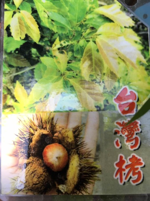 ╭*田尾玫瑰園*╯新品種樹種-(台灣櫟)高25cm700元