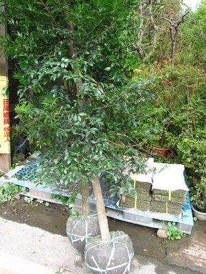 ╭*田尾玫瑰園*╯優良的庭園用樹((日本竹柏))成樹供應.歡迎詢問