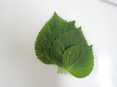 【蔬菜種子】青森芝麻葉~ 韓國料理中不可或缺的食材,可搭配烤肉一起食用。葉片邊緣鋸齒狀,葉面綠色,葉背稍帶粉紅色。