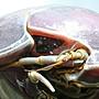 大王巨足蟲標本