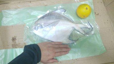 白鯧魚只要580元鴻德水產