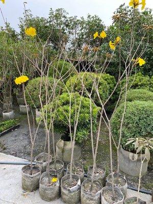 【林阿伯】黃金風鈴木 高5-6尺