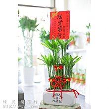 【綠風園藝~ 開運竹 宅配】(白)花盒子組合開運竹【送禮盆栽】01