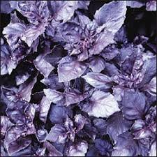 歐美進口香草種子Purple Ruffles Basil花卉 蔬菜 水果 香藥草 種子每包約50粒