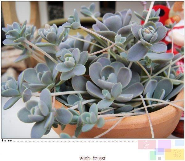 WISH  FOREST【多肉植物。白蔓蓮。】。手持蓮華。。垂吊