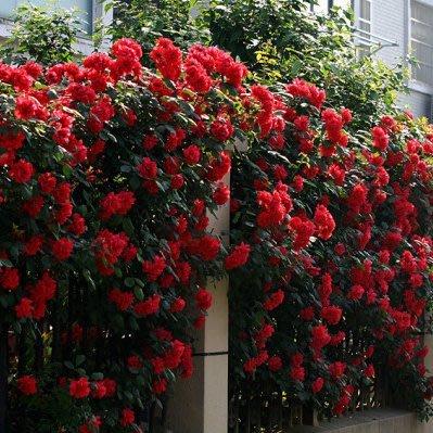 ↖爆炸紅玫瑰花種子 (種子)四季爬藤玫瑰 特價↗
