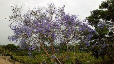 ╭☆東霖園藝☆╮優良樹種(藍花楹)巴西...