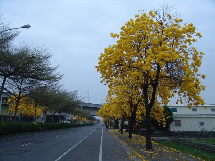 ╭*田尾玫瑰園*╯賞花庭園用樹-(黃花風鈴木成樹)米徑15cm20000元/株