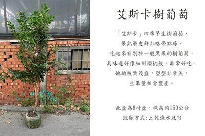 心栽花坊-艾斯卡樹葡萄/奧斯卡/大星紅/四季樹葡萄/樹葡萄品種/嫁接苗/水果苗/售價2000特價1700