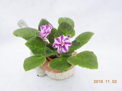 堤緣花語陶-淨化室內空氣植物-非洲紫羅蘭 Suncoast Peppermint Kathy [經典典藏美花]