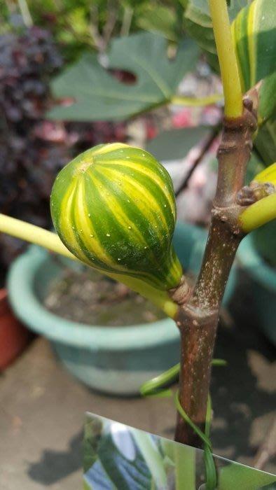 ╭*田尾玫瑰園*╯水果苗(條紋西瓜無花果)40cm600元