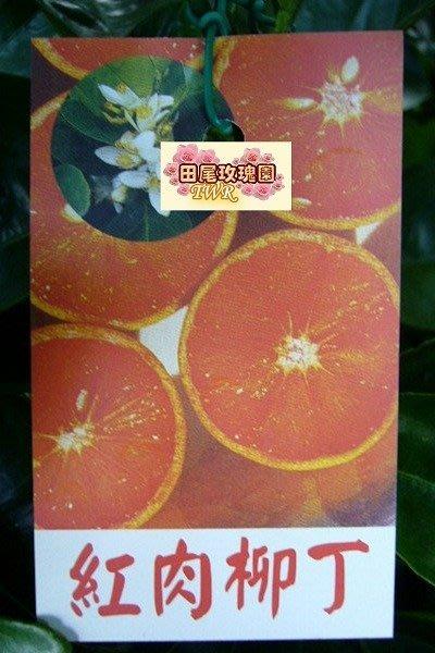 ╭ *田尾玫瑰園*╯水果苗(紅肉柳丁)---甜度高..風味清爽.結果率高