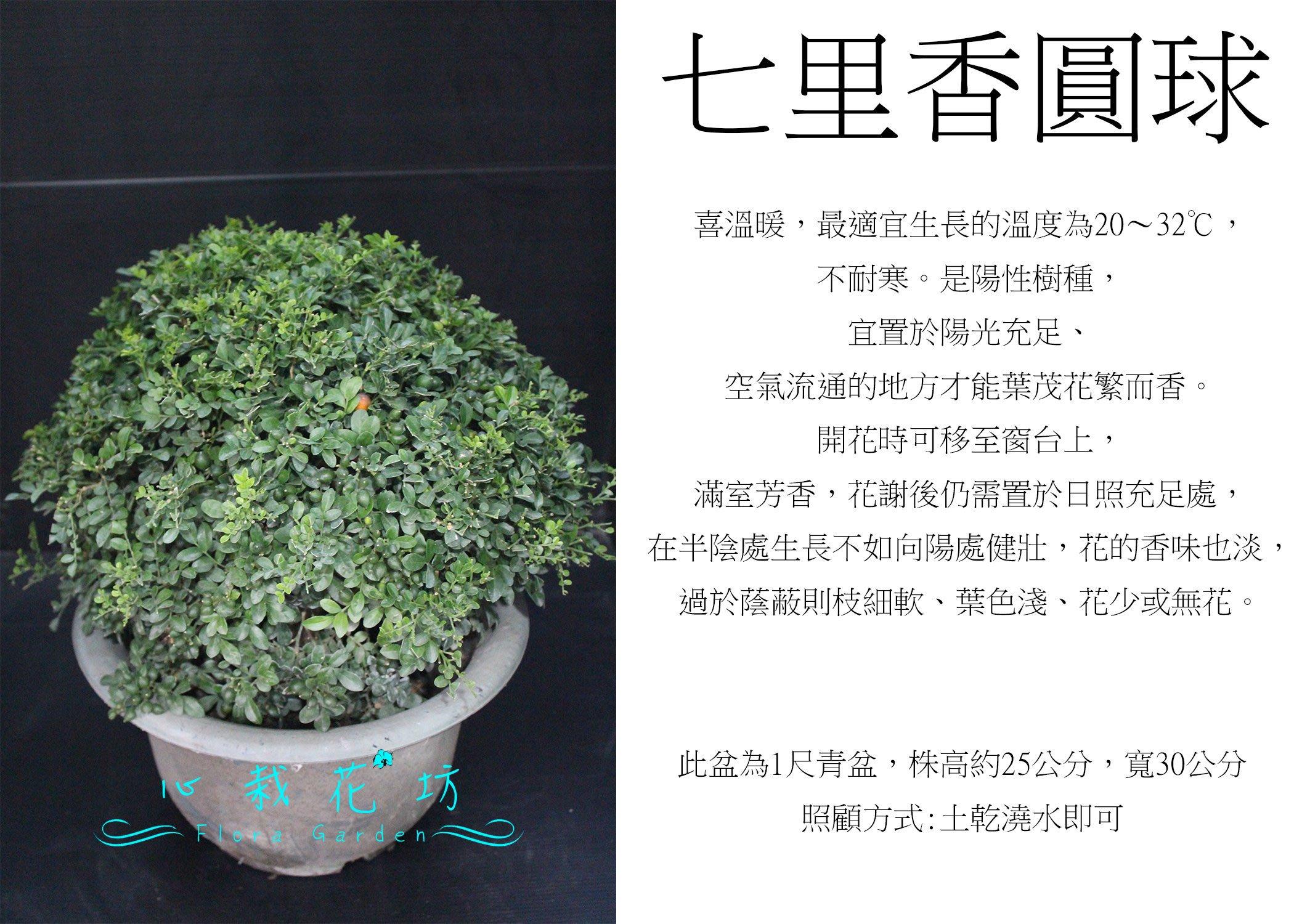 心栽花坊-細葉七里香/七里香/波波球/圓球/寬30cm/綠籬植物/圓球/造型樹/特售/售價360特價300