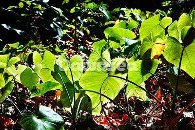 台灣圖片.照片.想租多少價格.你決定專案.屏東墾丁森林遊樂區.透光芋葉.專業攝影師拍攝.